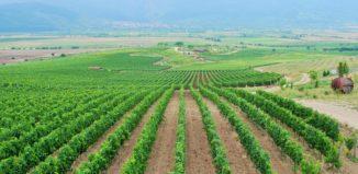 Villa Yustina's vineyards